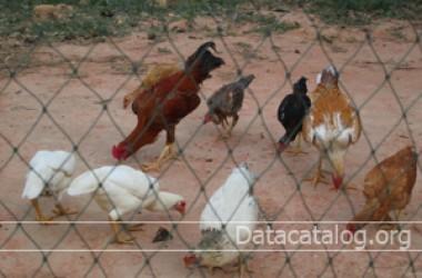 อาชีพอิสระลงทุนน้อยทำฟาร์มเลี้ยงไก่พื้นเมืองขาย