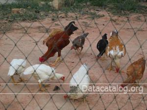 ฟาร์มเลี้ยงไก่พื้นเมือง