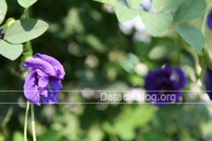 ดอกอัญชันทำพันช์น้ำดอกอัญชัน