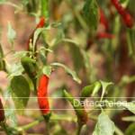 วิธีการปลูกผักสวนครัวในกระถางปลูกอย่างไรได้ผลผลิตดีปลูกขายอาชีพเสริมเพิ่มรายได้