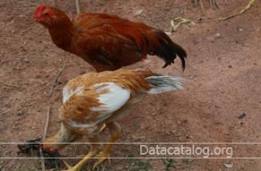 เลี้ยงไก่บ้านไก่พื้นเมืองขายเป็นอาชีพเสริม