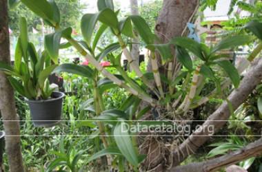 วิธีปลูกกล้วยไม้สกุลหวายโดยวิธีปักชำทำขายเป็นอาชีพเสริมรายได้ดี