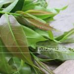 ปลูกผักพื้นบ้านปลูกผักติ้วขายเป็นอาชีพเสริมสร้างรายได้