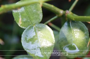ข้อมูลต้นมะกรูดข้อดีข้อด้อยการขยายพันธุ์
