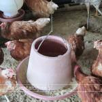 ฟาร์มไก่ไข่การเลี้ยงไก่ไข่อาชีพอิสระที่น่าสนใจ
