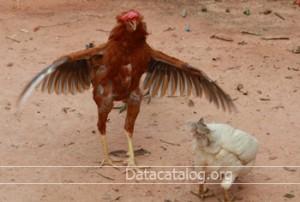 ไก่พันธุ์เนื้อ และวิธีการเลี้ยง