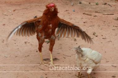 วิธีการเลี้ยงไก่พันธุ์เนื้อทำเป็นอาชีพอิสระที่น่าสนใจ