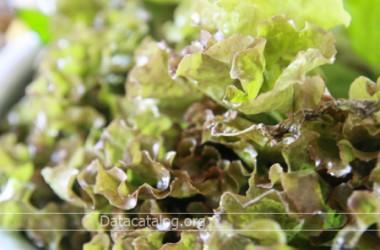 ความแตกต่างของผักกาดแก้วและผักกาดหอม