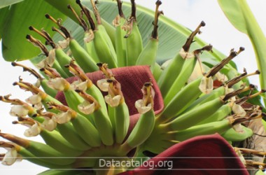 ปลูกกล้วยไข่ส่งออกอาชีพอิสระทำเงิน