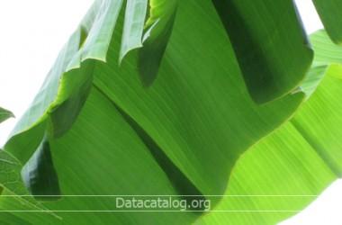 กล้วยน้ำว้าวิธีการปลูกกล้วยน้ำว้าตัดใบขายอาชีพอิสระที่น่าสนใจ