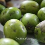 ปลูกมะกอกน้ำขายอาชีพอิสระที่น่าสนใจ